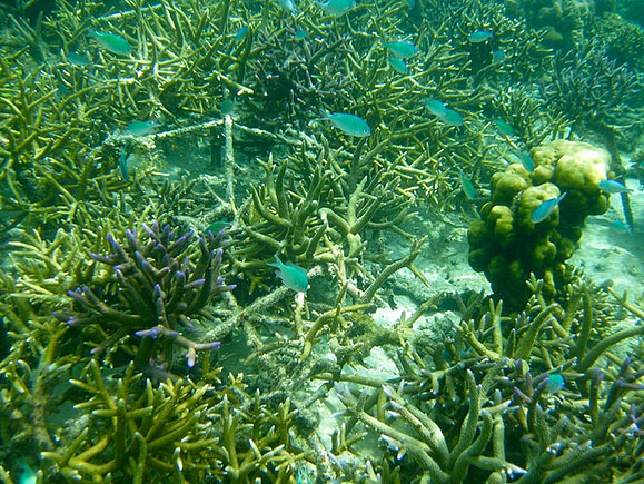 Coral growing over 3D frames in Indonesia