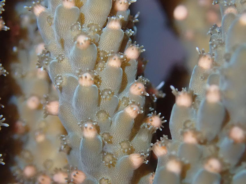 Seeding enhanced corals from existing stock by larval slick translocation
